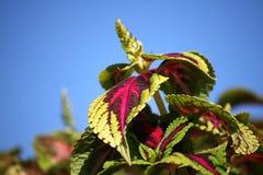 Coleus plant Stock Photos