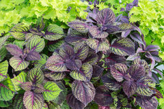 Coleus Plant Stock Images