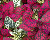 Coleus plant foliage Royalty Free Stock Images