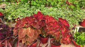 Coleus plant Stock Image