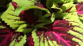 Coleus Plant stock video
