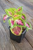 Coleus plant in pot on wooden background. Coleus plant in pot on a wooden background royalty free stock photo
