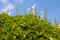 Coleus plants Stock Image