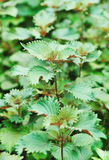 Coleus plants. Fresh coleus plants in field Royalty Free Stock Image