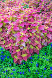 Coleus plants in flower bed. Royalty Free Stock Photo