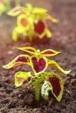 Coleus Plants Stock Images