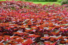 Coleus and Plectranthus be hril beautiful fuchsia. Stock Photography