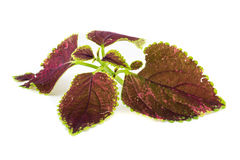 Coleus (Plectranthus be hril) Stock Photos