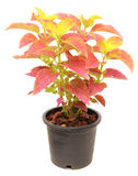 Coleus in a pot Royalty Free Stock Photo