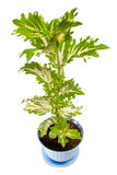 Coleus in pot Stock Images