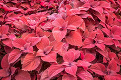 Coleus- red leaf foliage background Stock Images