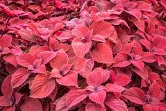 Coleus- red leaf foliage background Stock Images