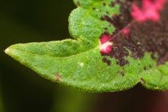 Coleus roślina zdjęcia royalty free