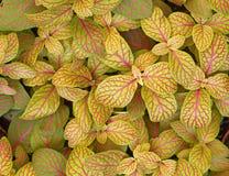 Coleus rośliny ulistnienia zakończenie Fotografia Royalty Free
