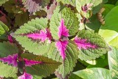Coleus roślina Fotografia Royalty Free