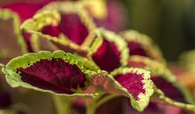 Coleus roślina Zdjęcie Royalty Free
