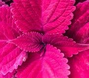 Coleus rosa Immagini Stock Libere da Diritti
