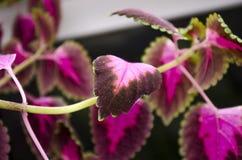 Coleus rosso del fiore Fotografia Stock