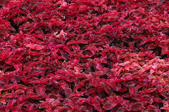 Coleus rosso vibrante nel giardino di Nong Nooch Botannical, Pattaya, Tailandia Fotografia Stock
