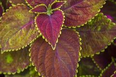 Coleus Solenostemon. Plectranthus scutellarioides. Solenostemon scutellarioides. Background, texture Royalty Free Stock Image