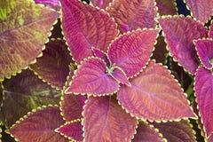 Coleus. Solenostemon. Plectranthus scutellarioides. Solenostemon scutellarioides. Background, texture Royalty Free Stock Photography