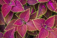 Coleus Solenostemon Plectranthus scutellarioides. Solenostemon scutellarioides. Background, texture Royalty Free Stock Photos