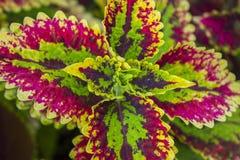 Coleus Solenostemon Plectranthus scutellarioides. Solenostemon scutellarioides. Background, texture Royalty Free Stock Image