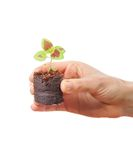Coleus sprout in female hand Royalty Free Stock Photos
