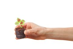 Coleus sprout in female hand Royalty Free Stock Image
