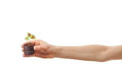 Coleus sprout in female hand Royalty Free Stock Photo