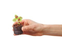 Coleus sprout in female hand Stock Photography