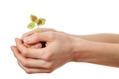 Coleus sprout in female hands Stock Images