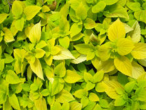 Coleus Stock Photo