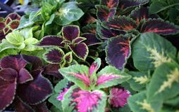 Coleus. Variety of coleus plants. Coleus is a former genus of flowering plants in the family Lamiaceae. Coleus Rainbow, Fire, Gree stock images