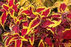 Coleus vermelho e amarelo Imagens de Stock Royalty Free