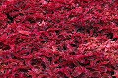 Coleus vermelho vibrante no jardim de Nong Nooch Botannical, Pattaya, Tailândia Foto de Stock