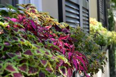 Coleus Window Flower Box. Beautiful Coleus window box. Leafy colorful coleus is used verses flowers making it a hardy choice for window boxes Royalty Free Stock Photos
