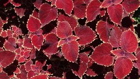 Coleus Wizard Red Velvet Stock Image