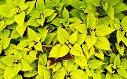 coleus zieleni brzmienie dwa Zdjęcia Royalty Free