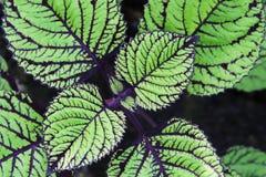 Coleusväxt Royaltyfria Bilder