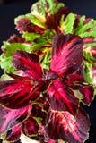 Coleusväxter Arkivfoton