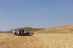 Colfax threshing bee in Washington. Colfax, Washington USA - 09-03-2018. Editorial photo of men driving draft mules pushing a swather to harvest wheat at the royalty free stock images
