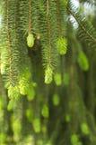 Colgante abajo de ramas spruce crecimiento Fotografía de archivo