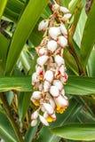 Colgante coloreado al revés en un jardín verde, Salem, Yercaud, tamilnadu, la India de los brotes de flor, el 29 de abril de 2017 Fotografía de archivo libre de regalías