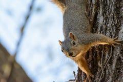 Colgante de la ardilla de Fox al revés de árbol Texto dejado Foto de archivo