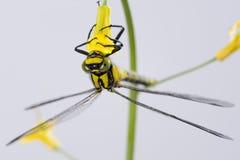 Colgante de la libélula al revés en una flor amarilla Imágenes de archivo libres de regalías