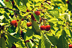 Colgante de las cerezas de una rama de árbol. Foto de archivo libre de regalías