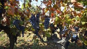 Colgante de las uvas del viñedo metrajes