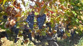 Colgante de las uvas del viñedo almacen de video