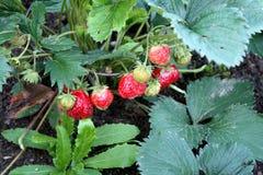 Colha a colheita das morangos é morango Casa de campo do jardim fotos de stock